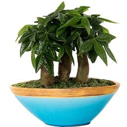 Pachira-bonsai-costa-farms